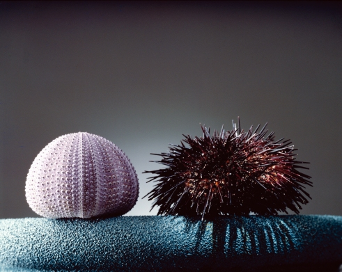 Sea Urchins --- Image by © Bichon/photocuisine/Corbis